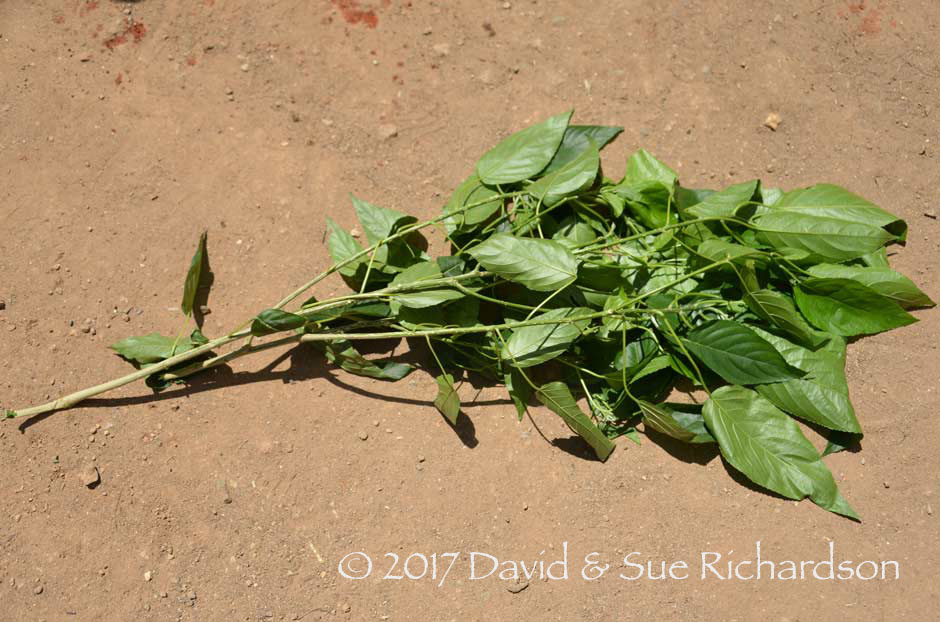 Description: The fresh leaves of the kruhi tree